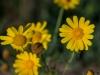 tn_70-crisantemi-gialli-ofanto