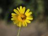 tn_71-crisantemo-giallo
