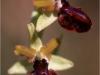 Orchidea selvatica (foto scattata nell'agro di Poggiorsini)