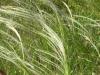 Stipa (foto scattata nell'agro di Spinazzola)